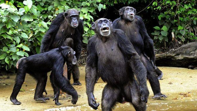 Chimpanzee vocalization article image